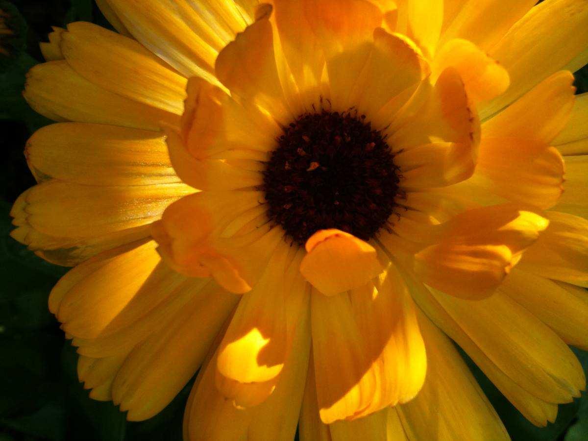 Goldgelbe Blume