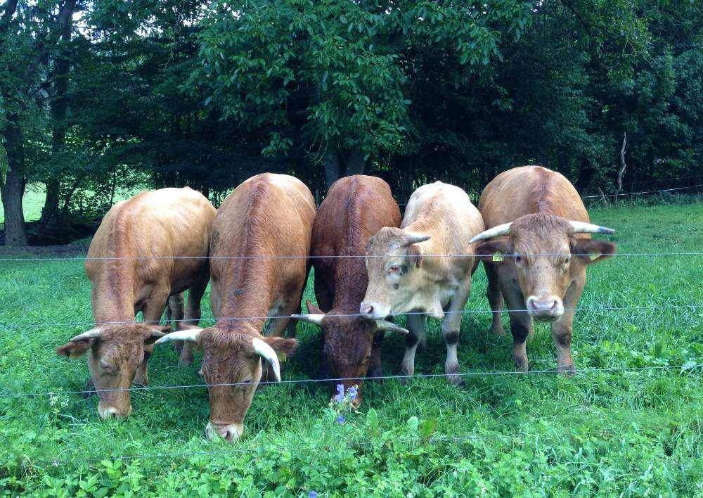 Kühe auf Weide in Hohenlohe
