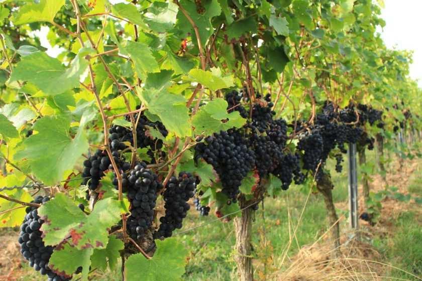 Rotwein Trauben