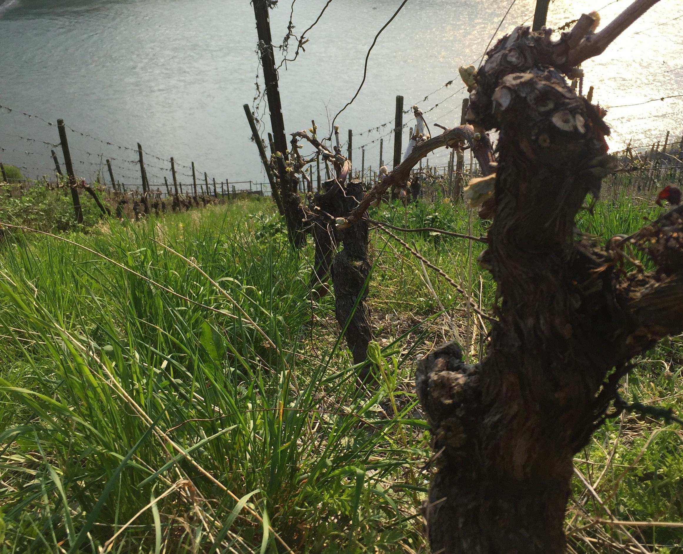 Weinrebe oberhalb Rhein