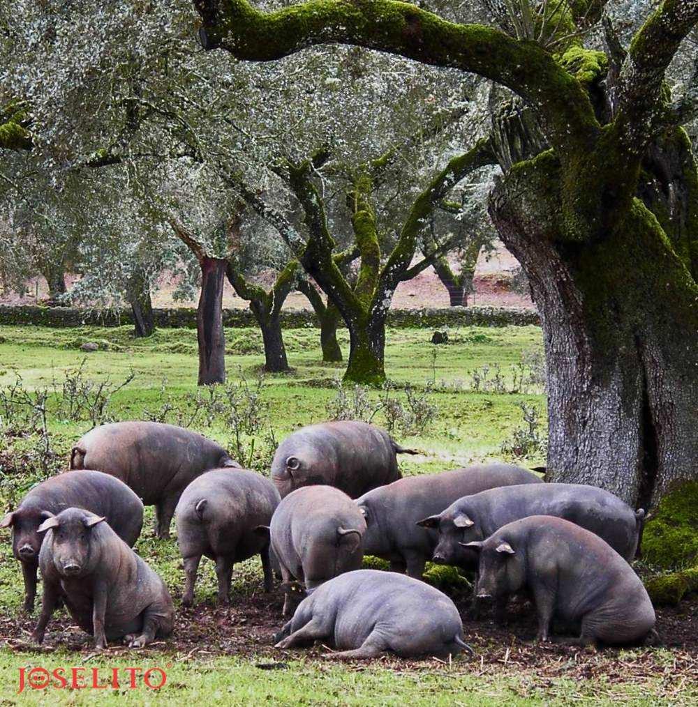 Iberico Schweine - Joselito Jamon